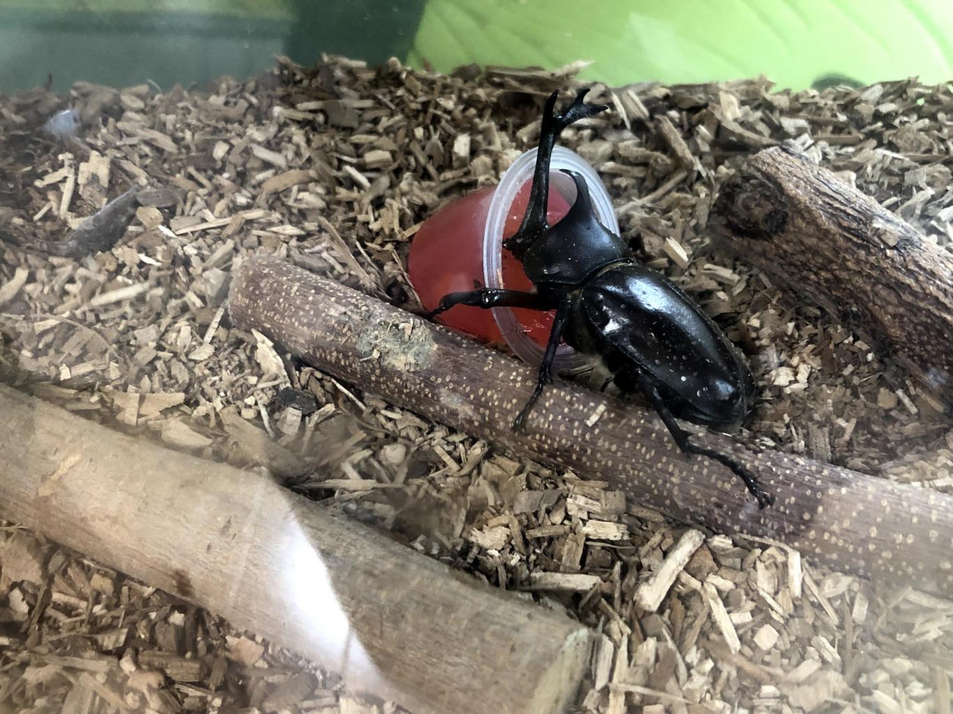 カブト虫飼育中